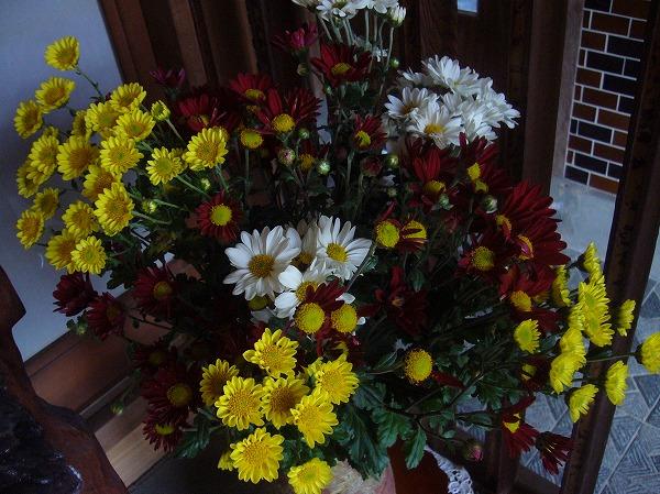 小菊ありがとう 26.10.17