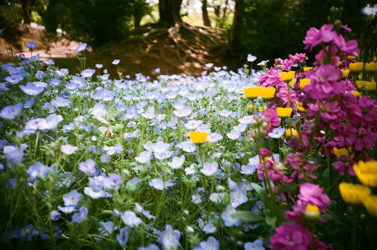 ネモフィラとお花