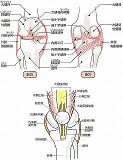 靭帯構図hizakansetsu02[1]