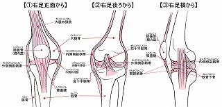 靭帯構図jintai[1]