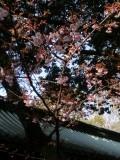 taishasakura6_20140312122100b29.jpg