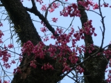 taishasakura7.jpg