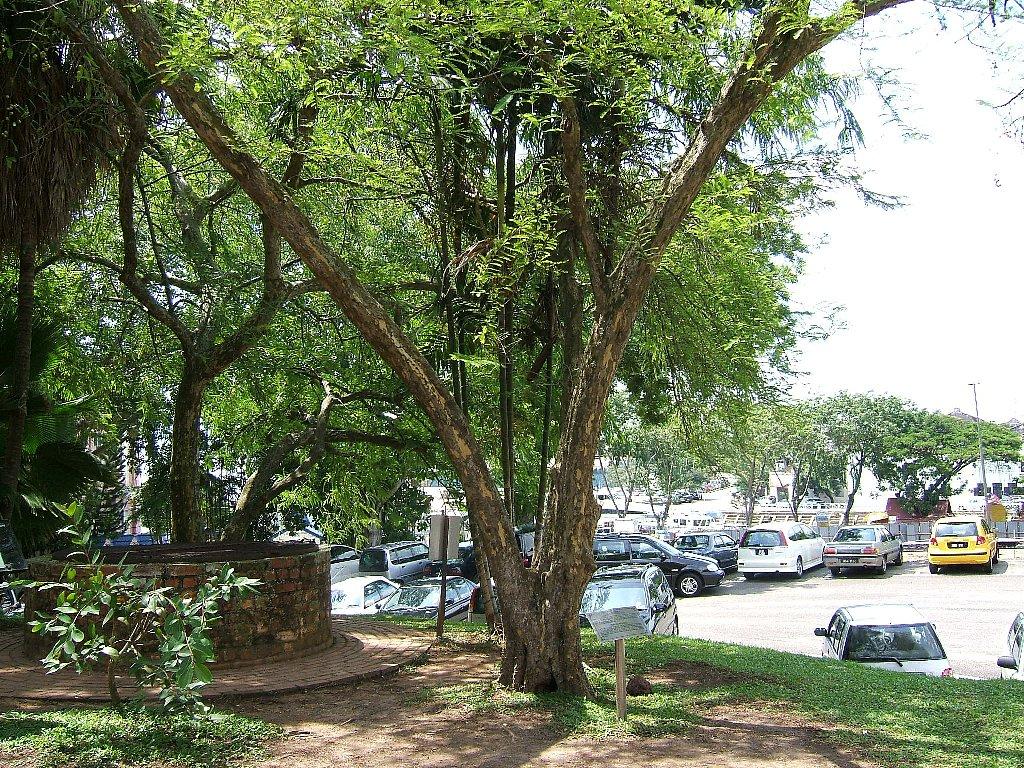マラッカの木