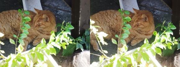 江の島の猫②(交差法)