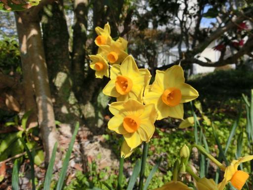 黄色い水仙1