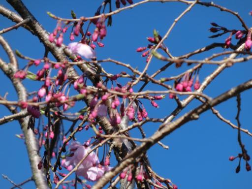 枝垂れ桜の開花2