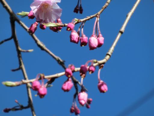 枝垂れ桜の開花1