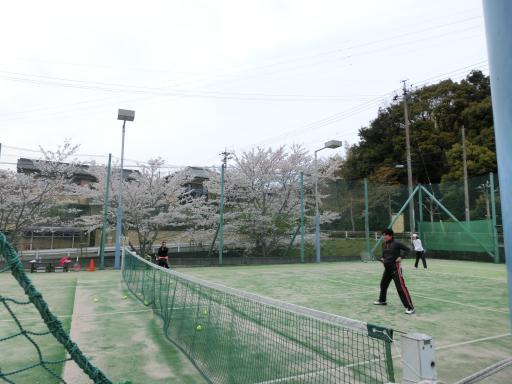 テニスコートの桜1