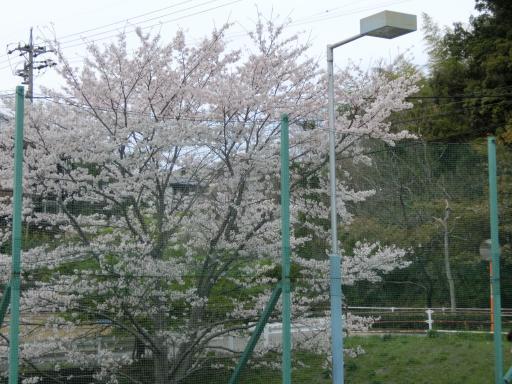 テニスコートの桜2