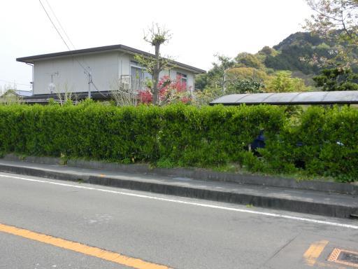 サンゴ樹の生垣1