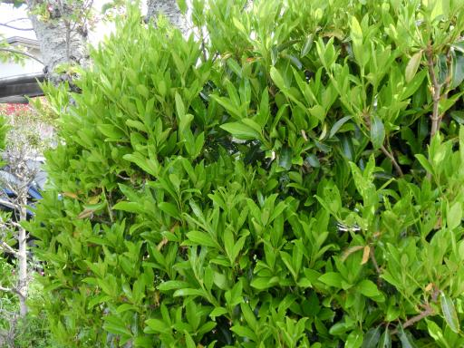 サンゴ樹の生垣2