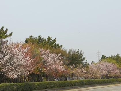 4/12_桜1
