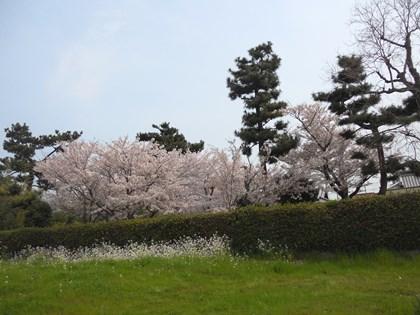 4/12_桜2