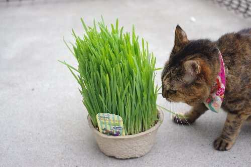猫草購入2