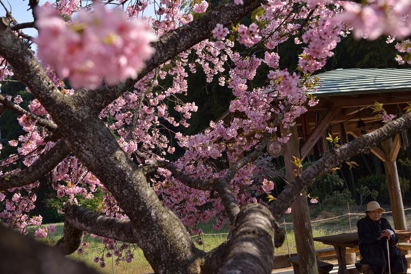 慈悲観音像と河津桜 (6)