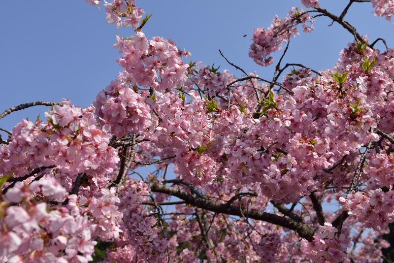 慈悲観音像と河津桜 (5)
