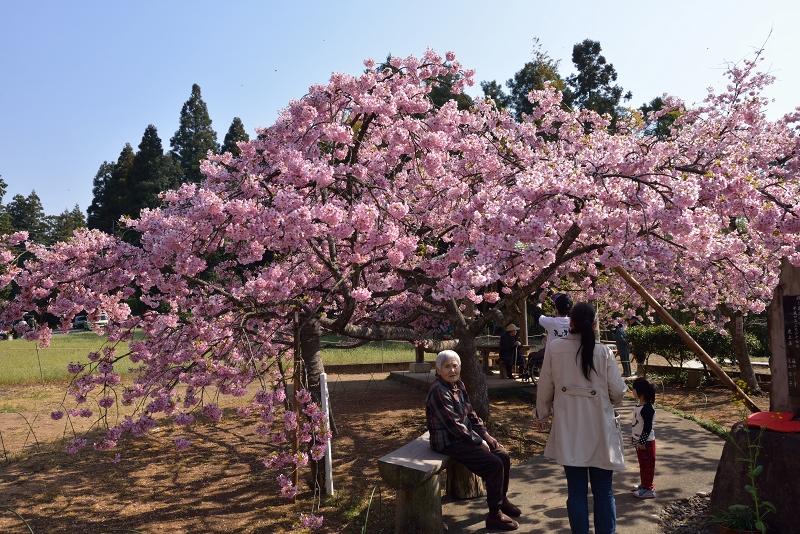 慈悲観音像と河津桜 (4)