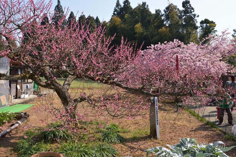 慈悲観音像と河津桜 (3)