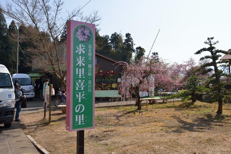 慈悲観音像と河津桜 (1)