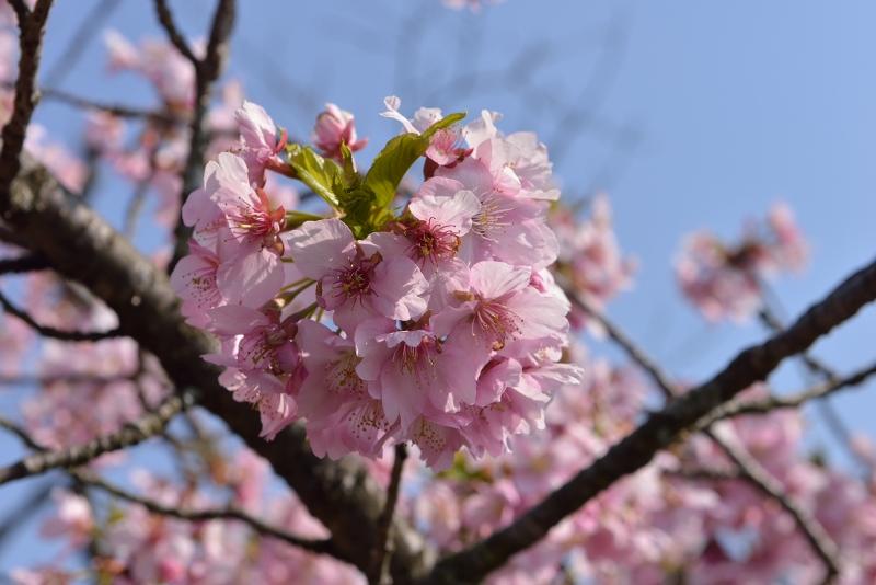 慈悲観音像と河津桜 (12)