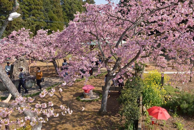 慈悲観音像と河津桜 (10)