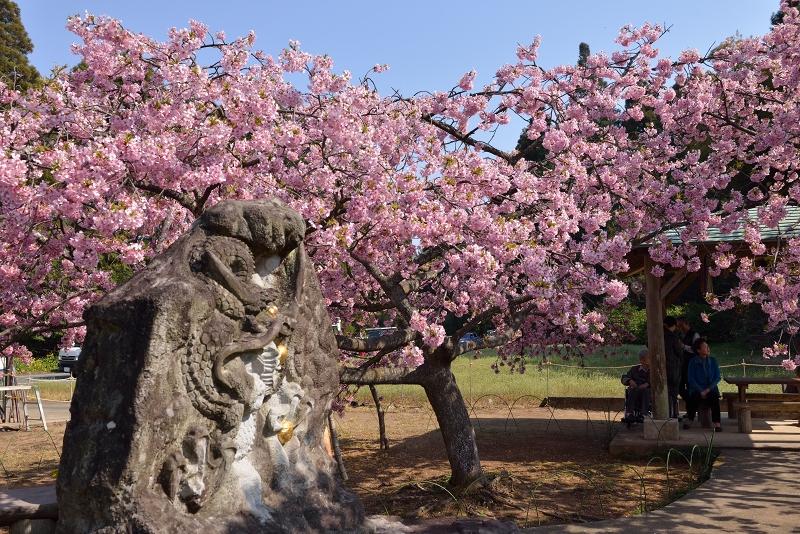 慈悲観音像と河津桜 (7)