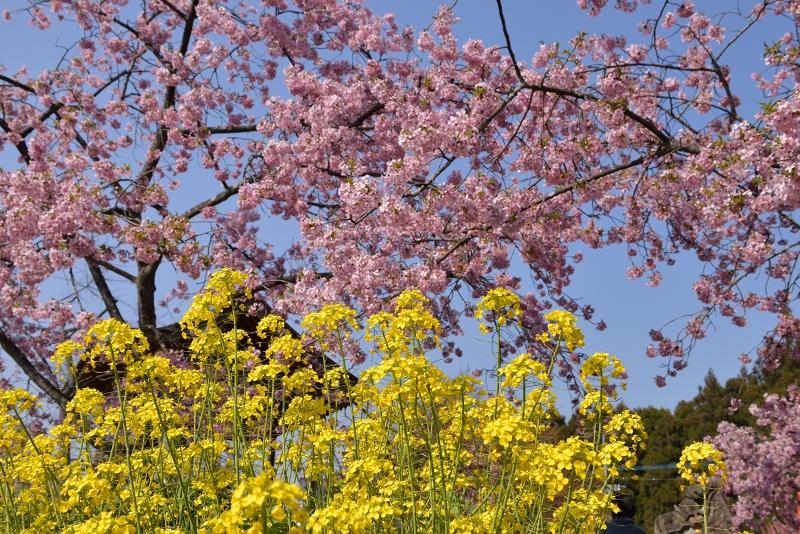 慈悲観音像と河津桜 (14)