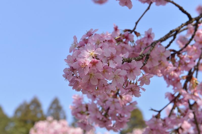 慈悲観音像と河津桜 (13)