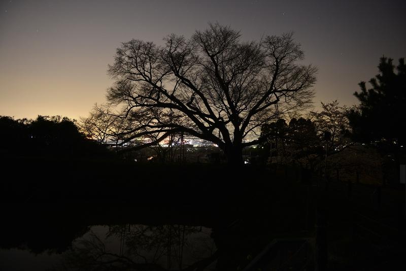 浅井の一本桜 (3)
