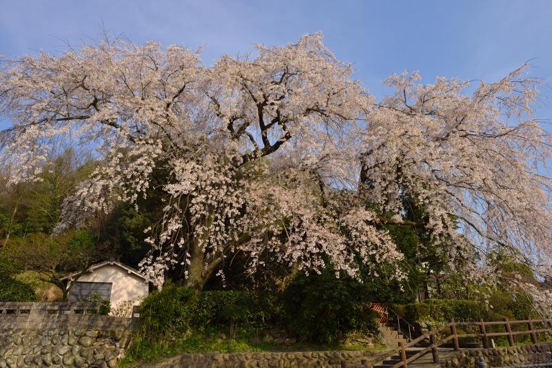 大原枝垂桜 (3)