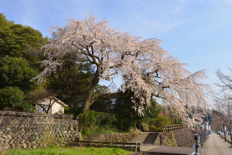 大原枝垂桜 (1)