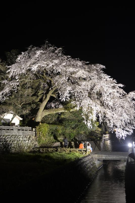 大原枝垂桜 (12)
