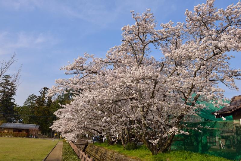 大原枝垂桜 (11)