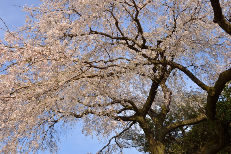 大原枝垂桜 (10)