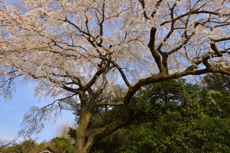 大原枝垂桜 (9)