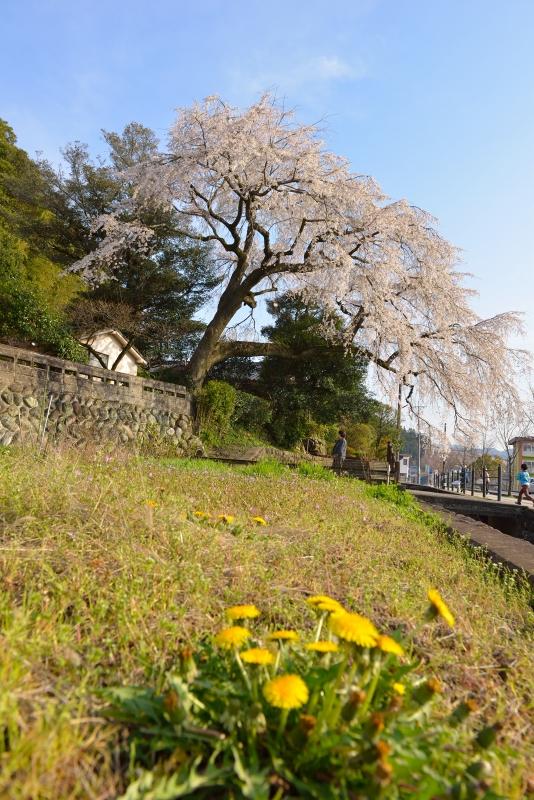 大原枝垂桜 (8)