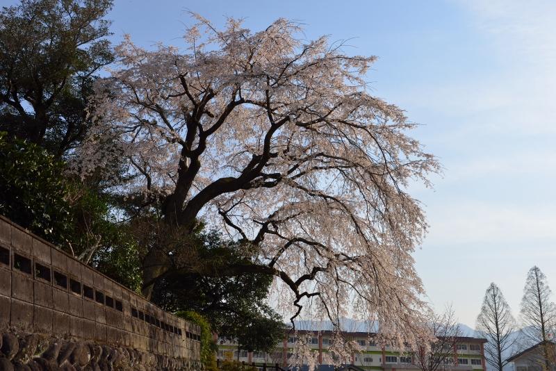 大原枝垂桜 (7)