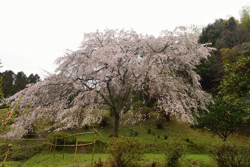 天神山のしだれ桜 (6)