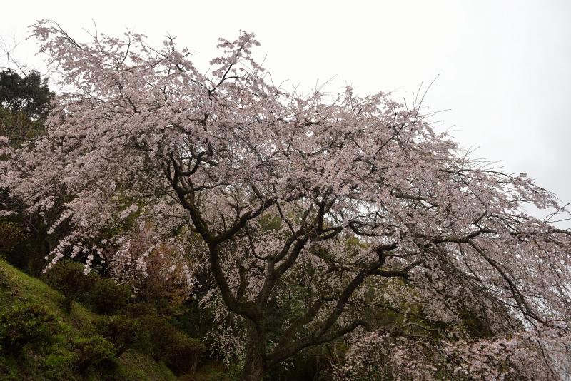天神山のしだれ桜 (5)