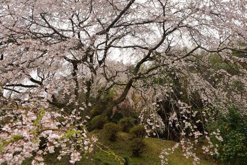 天神山のしだれ桜 (4)