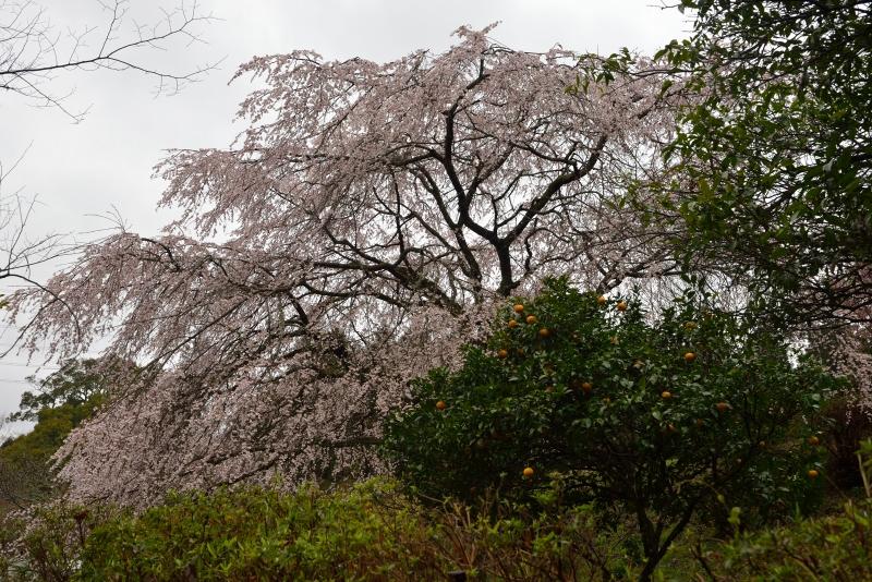 天神山のしだれ桜 (3)