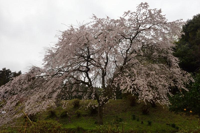 天神山のしだれ桜 (2)
