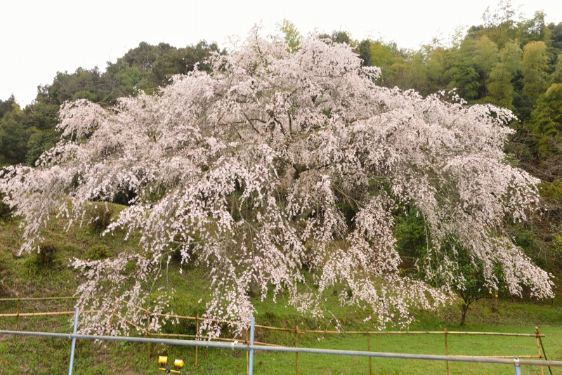 天神山のしだれ桜 (1)