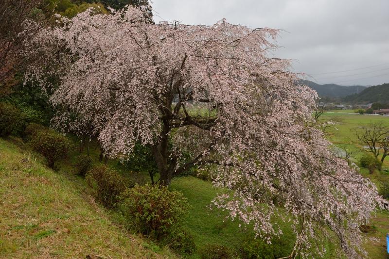 天神山のしだれ桜 (7)