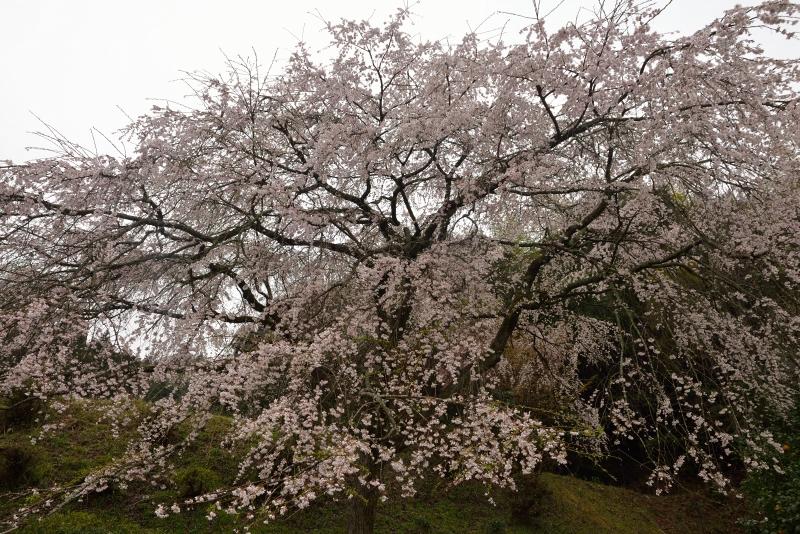 天神山のしだれ桜 (18)