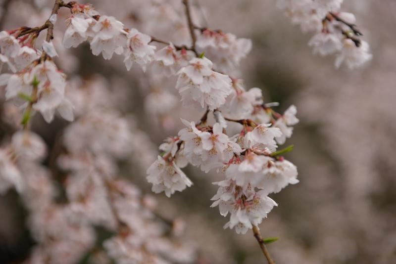天神山のしだれ桜 (17)