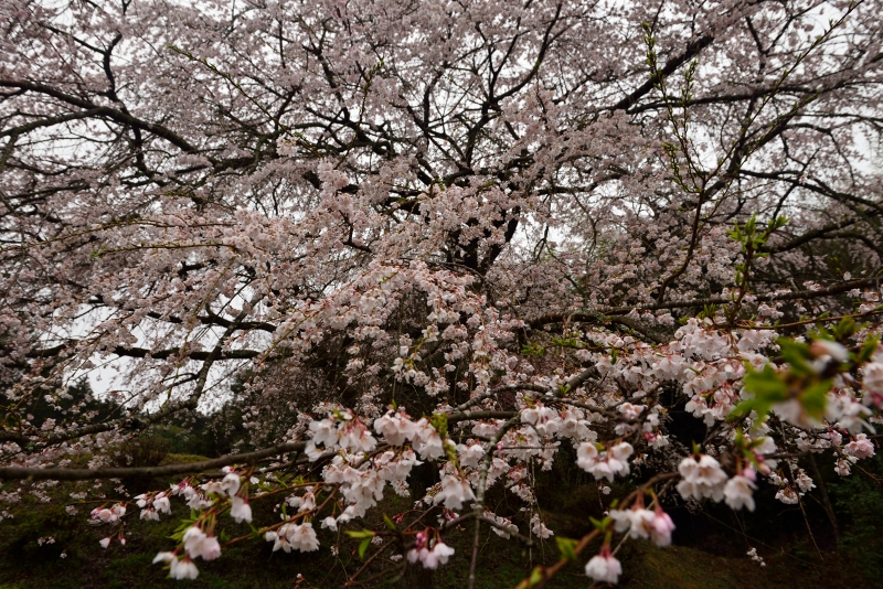 天神山のしだれ桜 (16)