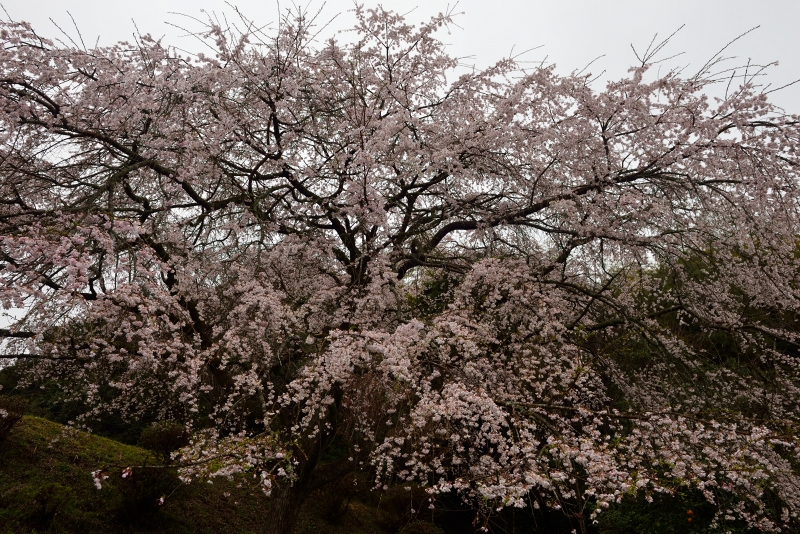 天神山のしだれ桜 (14)