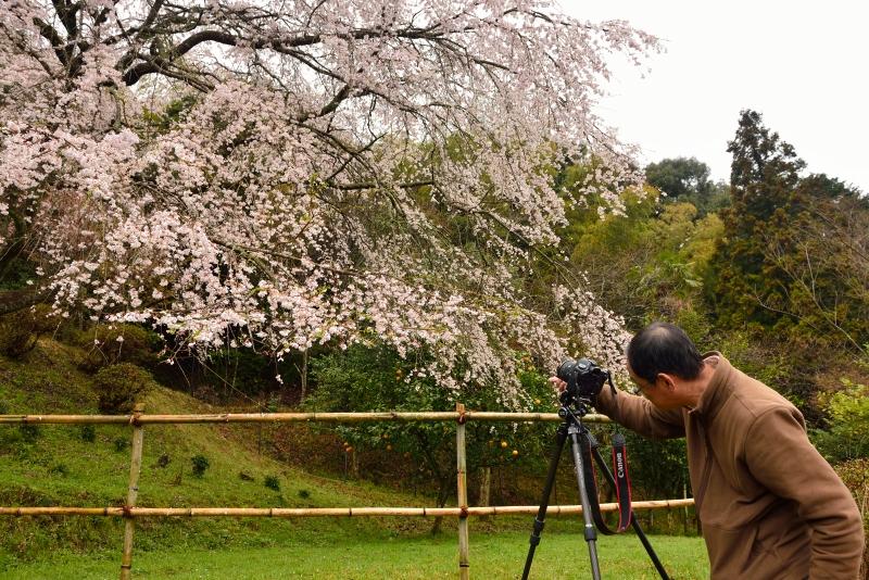 天神山のしだれ桜 (15)