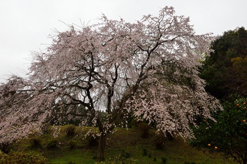 天神山のしだれ桜 (13)